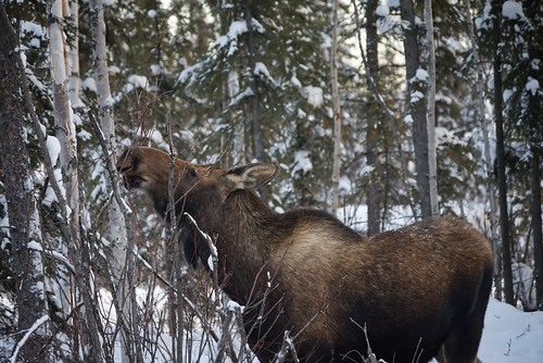 Young moose eating