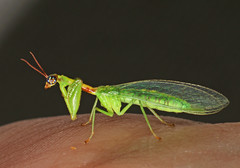 Green Mantisfly - Zeugomantispa minuta, Solon Dixon Forestry Center, Andalusia, Alabama