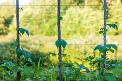 Runner Beans Climbing Up Bamboo Poles