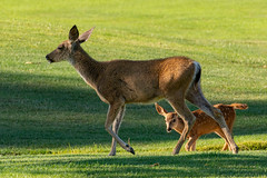 Mother Doe and Fawn on the Golf Course