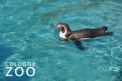 """Swimming Penguin in a blue pool with the picture title """"Cologne Zoo"""""""