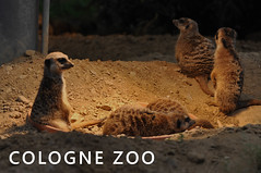 "Meerkats sleep and keep watch, next to picture title ""Cologne Zoo"""