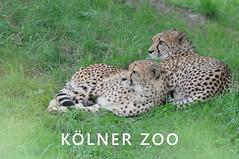 """Zwei Leoparden liegen im Gras und beobachten, über dem Bildtitel """"Kölner Zoo"""""""