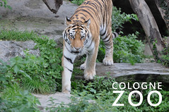 A tiger walks through its enclosure at the cologne zoo in Germany