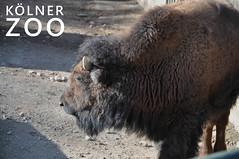 """Bison - Wildrind in seinem Gehege neben dem Bildtitel """"Kölner Zoo"""""""