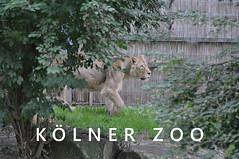 Weiblicher Löwe läuft vorsichtig über eine Wiese in seinem Gehege im Kölner Zoo