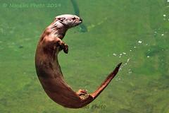 North American river otter - Nordamerikanischer Fischotter