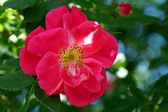 DSC00601 - Wild Rose
