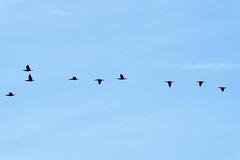 cormorants flying on Episy swamp - Photo of Nonville