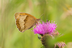 Schmetterling Les Monts - Photo of Chevry