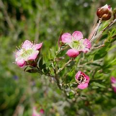 Au jardin, leptospermum