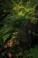 """Image by the_lowe_life (jwlowe) and image name """"Fern Valley"""" photo  about I stumbled on this scene of ferns and early morning light we hiking in the Red River Gorge over the weekend. Hope you all have a wonderful week!"""