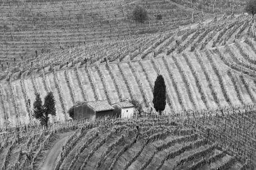 Prosecco vines in Valdobiadenne, Italy (Explored)