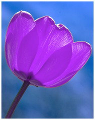 Fantastic Lilac tulip flower!