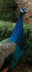 IMG_2977 Indian Peacock