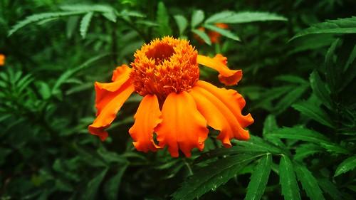 Marigoldflower1