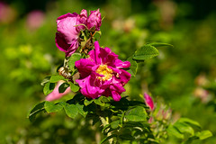 Wild rose flowers in the garden, Moscow region, Russia         XOKA3142bs