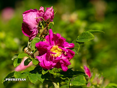 Wild rose flowers in the garden, Moscow region, Russia                    XOKA3142b2s