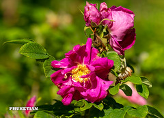 Wild rose flowers in the garden, Moscow region, Russia                XOKA3142b3s