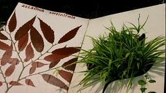 ZELKOWA carpinifolia