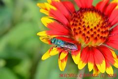 Chrysis ignita - guêpe coucou - Chrysidae - COURS 34 FRANCE