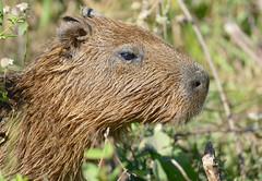 Capybara (Hydrochoerus hydrachaeris) juvenile close-up ...