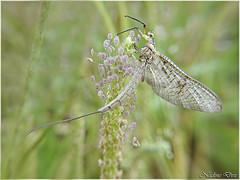 Le Fourmilion (Névroptère Myrmeleonidae)