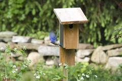2019 Bluebird Nesting