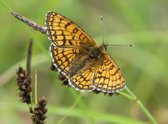 Meadow Fritillary (Melitaea parthenoides) - Photo of Baneuil