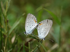 Mating Eastern-tailed Blues