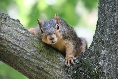 Fox Squirrels on a Summer Day at the University of Michigan - July 1st, 2019