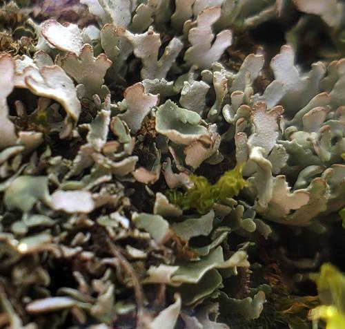 Cladonia apodocarpa