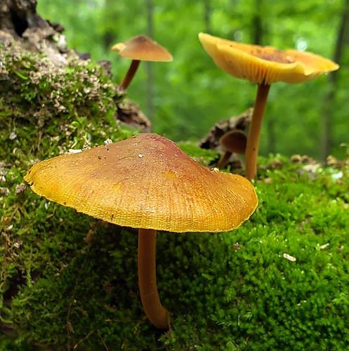 Xeromphalina tenuipes