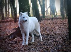 IMG240 Loup Blanc 2 (s) - Photo of Guéret