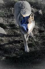 Loup à l'approche IMG0305 (s) - Photo of Guéret