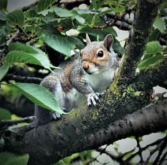 Grey squirrel ( Sciurus carolinensis). Nikon D3100. DSC_0433
