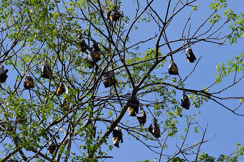 Spectacled flying foxes (Pteropus conspicillatus)