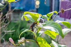 04-Frelon asiatique et fleur de citronier