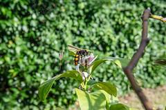 01-Frelon asiatique et fleur de citronier