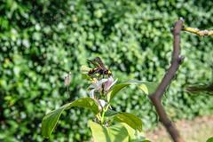 02-Frelon asiatique et fleur de citronier