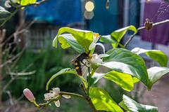 03-Frelon asiatique et fleur de citronier