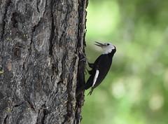 White headed Woodpecker 6 2 19