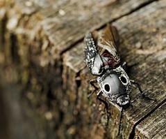 Alaus oculatus