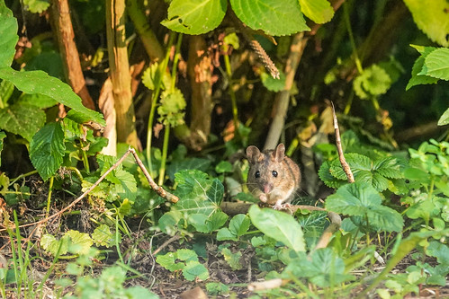 DSC00667 Bosmuis, Wood Mouse, Apodemus sylvaticus.