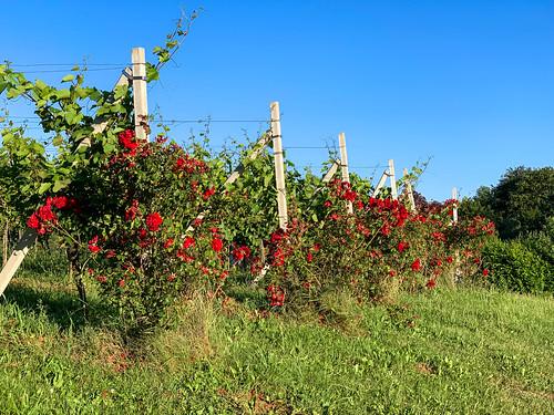 Rosen im Weingarten