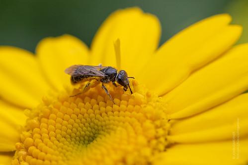 Bee on Corn Marigold