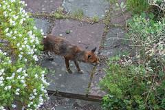Foxes_at_341_Perth_Road