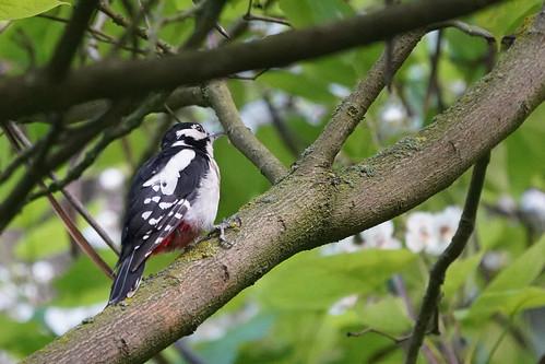 DSC00611 Grote Bonte Specht, Great Spotted Woodpecker, Dendrocops major.