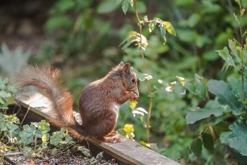 DSC00107 Eekhoorn, Red Squirrel, Sciurus vulgaris.