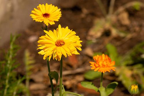 Calendula - Marigold - Morgenfrue